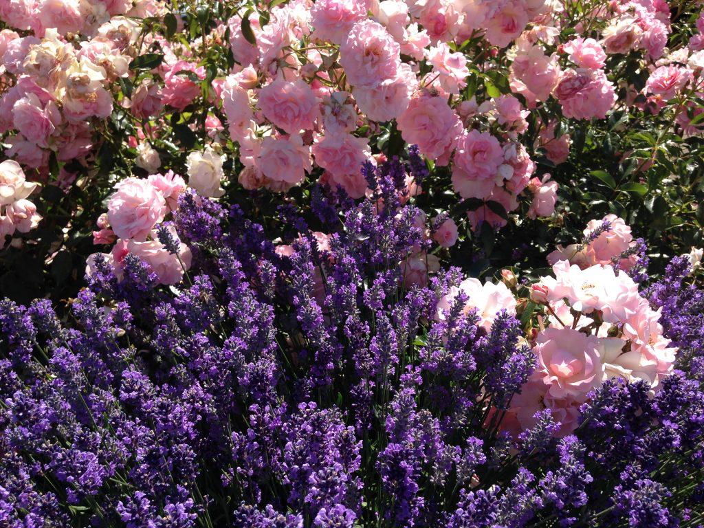 rosenbegleiter rosen im einklang mit anderen pflanzen. Black Bedroom Furniture Sets. Home Design Ideas