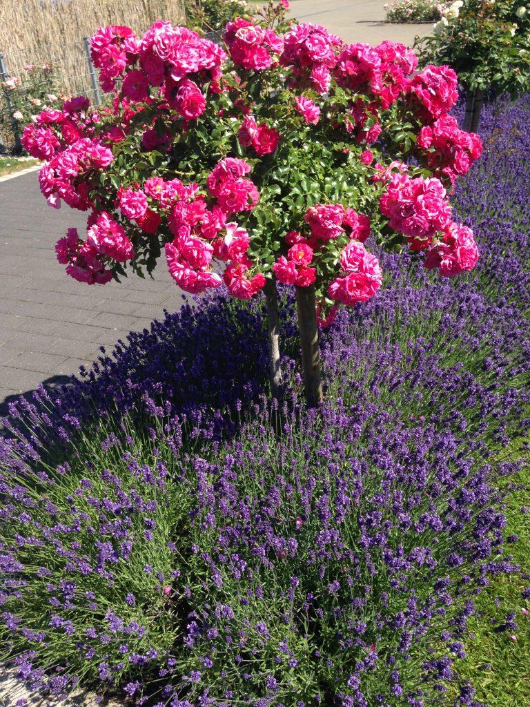 rosenbegleiter rosen im einklang mit anderen pflanzen rosenhof odendahl. Black Bedroom Furniture Sets. Home Design Ideas
