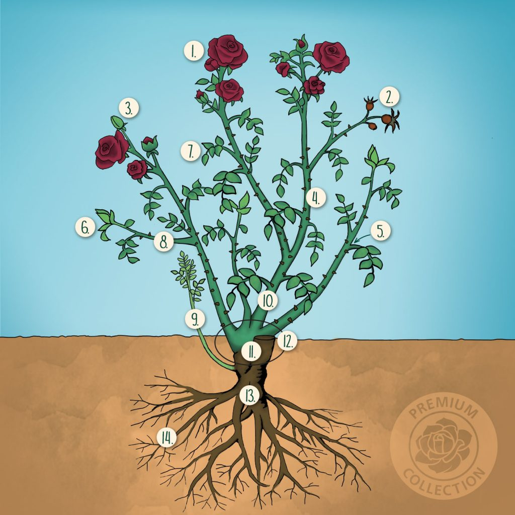 rosenfibel die pflege von rosen in k beln und k sten. Black Bedroom Furniture Sets. Home Design Ideas