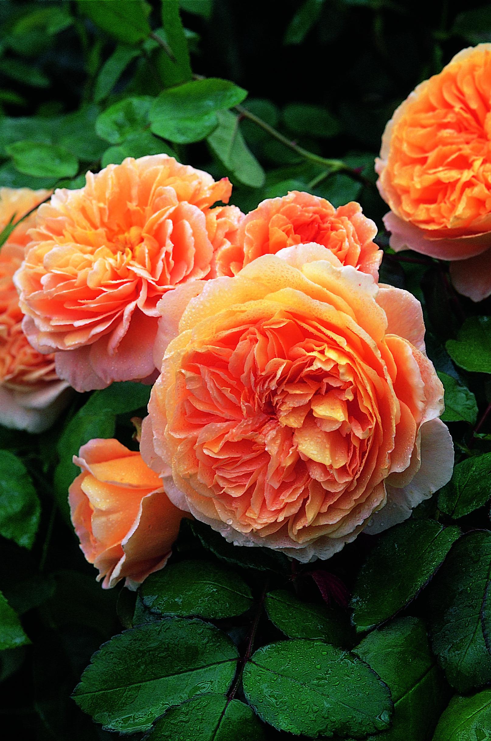Crown princess margareta auswinter rose inglesi rosa for Rosa inglese