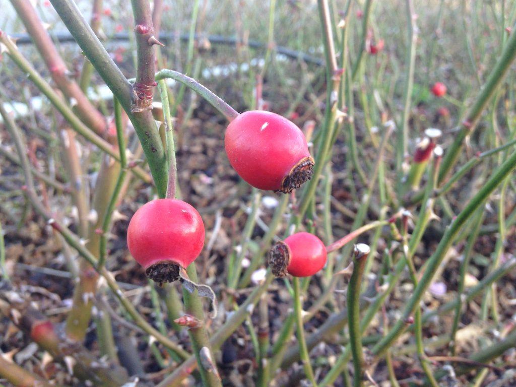 rückschnitt – die rosen in form bringen – rosenhof odendahl